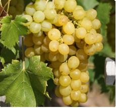 Druif Palatina - Zoete druiven voor wijn of consumptie