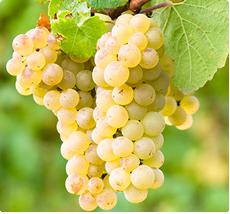 Druif Parel van Zala: druiven met zoete muskaatachtige smaak