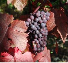 Sierdruif Purpurea: Mooie bladeren en attractieve bloei