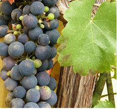 Druif Regent: wijndruif met kruidige en zoete smaak