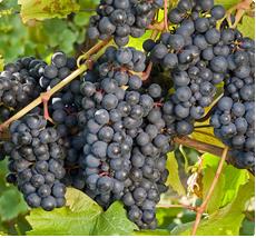 Druif Rondo: Rode wijn vergelijkbaar met Bourgogne