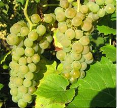 Druif Solaris | Druiven planten kopen