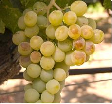 Druif Muskaat van Alexandrie - Druiven planten koop