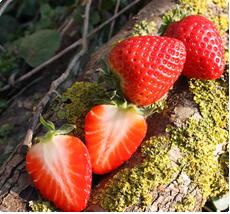 Fragaria Ostara aardbeien planten