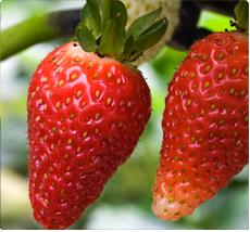 Pink Marathon aardbei - Aardbeienplanten kopen