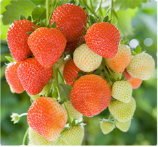 Aardbei Fragaria Sonata: Aardbeien planten kopen