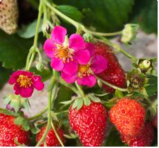 Aardbeien plant met roze bloemen - Fragaria Toscana