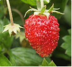 Aardbei Fragaria Vesca Alexandria aardbeien planten kopen
