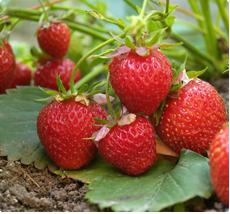 Fragaria Elsanta - Aardbeienplant kopen