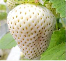 Witte aardbeien plant kopen - Mount Omei aardbei