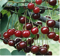 Kriekenboom Noordkriek: Zelfbestuivende kriekenboom kopen