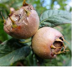 Mispelboom kopen: Bredase Reus