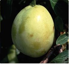 ECO Pruimenboom Belle De Thuin: Ziekteresistente pruim