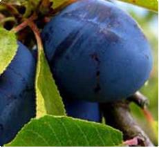 Pruimenboom Bleue de Belgique kopen