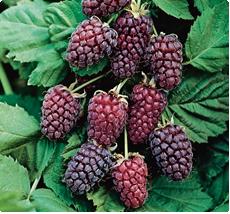 Braamboos Thornless Loganberry loganbes planten kopen