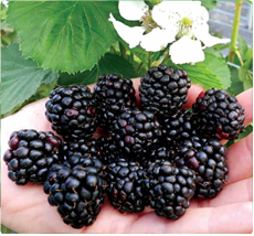 Reuben braambessen planten kopen