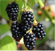 Braam Rubus Black Satin planten kopen