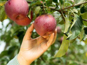 Ziekteresistente fruitbomen kopen? Ontdek onze RGF rassen !