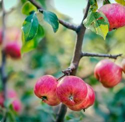 Leivorm espalier fruitbomen