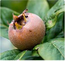 Mispelaar Westerveld - Mispelboom kopen Oost-Vlaanderen