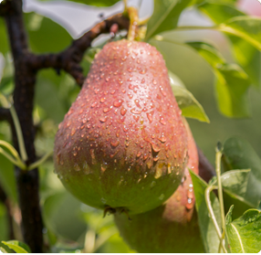 Perenboom Williams Bon Chretien - Nieuwe fruitbomen 2018-2019