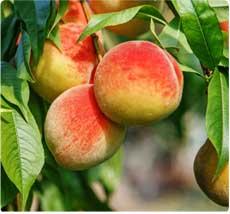 Wassenberger perzikboom kopen